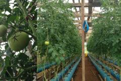 An aeroponic tomato farm
